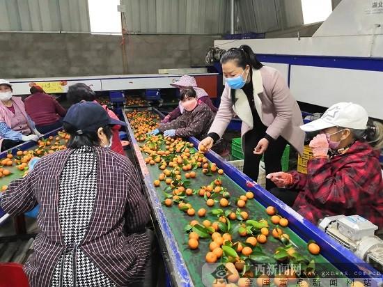 鹿寨县:一箱两箱都是爱 5.6万斤爱心果被认购