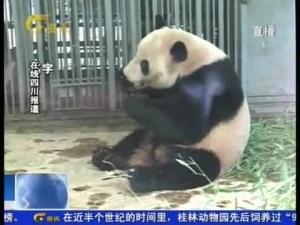 大熊猫兄弟来广西啦!