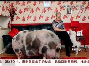 迷你宠物猪长到254斤