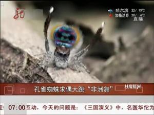 """孔雀蜘蛛求偶大跳""""非洲舞"""""""