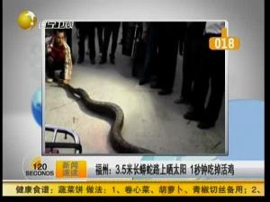 3.5米长蟒蛇路上晒太阳 1秒吃掉活鸡