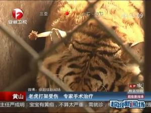 老虎打架受伤 专家手术治疗