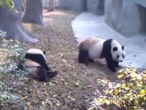 熊猫系列之滚来又滚去