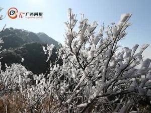 大明山雾松(早报二维码)