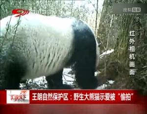 野生大熊猫求偶示爱现场被偷拍 倒立树上撒尿