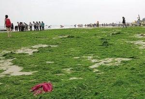 北海:海藻连日侵袭银滩 日均清理五到六吨