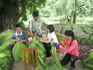 新化镇烤烟特色产业促农增收