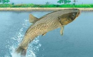 纯青鱼上品 超赞水库鱼