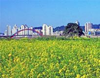 梧州郊区赏靓丽油菜花