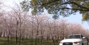 贵州:湖光山色 樱花盛放