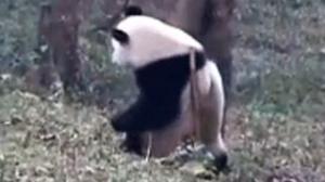 熊猫挠痒痒 舞姿好妖娆