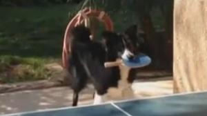 狗狗和主人打乒乓相当熟练