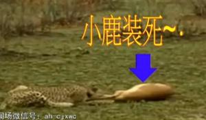 聪明小鹿装死骗过花豹