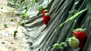 多部门辟谣:吃草莓不致癌