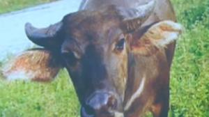 喂黄牛吃方便面遭遇牛群追撵