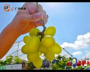 广西天价葡萄 一两百一斤