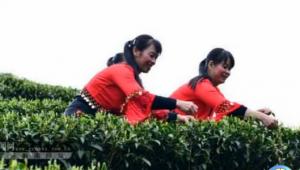 龙胜:春到侗寨茶飘香