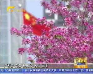 """柳州:""""三月三""""里活动多 紫荆花开醉龙城"""