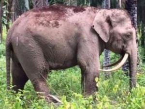 罕见:这只大象象牙朝内弯
