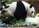 """马来西亚动物园为大熊猫""""兴兴""""与""""靓靓""""庆生"""
