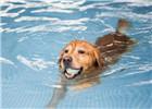 成都宠物游泳池高温下走俏 一次收费近百元