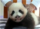 大熊猫宝宝有了新名字