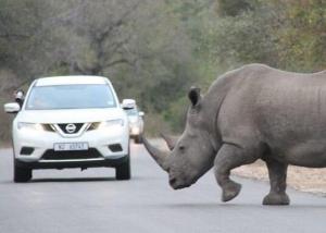 """南非犀牛罕见抵抗 偷猎者被""""缴械""""(图)"""