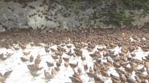 百马乡6500羽鸡苗落实到位助力扶贫