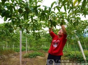 凌云:百香果产业助农增收致富