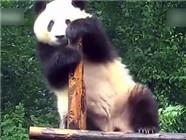 不如跳舞!实拍呆萌熊猫蹭痒秒变舞王
