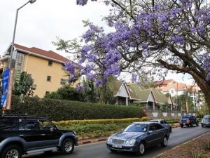 肯尼亚首都蓝花楹盛开(组图)