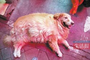 30日焦点图:金毛犬被食客追捧 胖得快走不动了