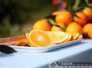 """2016年德保脐橙统一开采上市 为农民致富""""黄金果"""""""