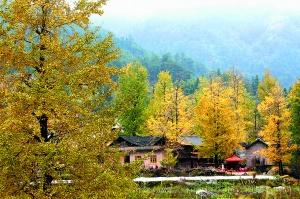 11月21日焦点图:兴安19万多亩银杏林迎来最佳观赏季