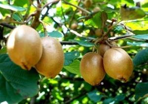 南丹贫困户发展猕猴桃产业走富路