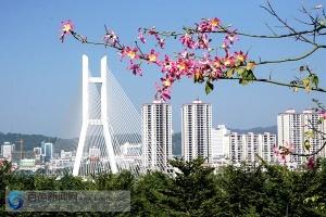 百色:异木棉花开灿烂 冬季鹅城添色彩