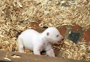 萌翻了!新生北极熊