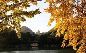 高清:桂林银杏黄了 一起相约桂湖边(组图)