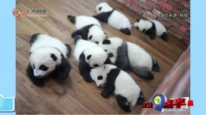 大熊猫这一年的网红生活