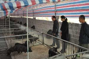 塘红乡:引进生态猪 扩展扶贫产业