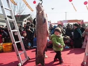 """江苏海安举办冬季捕鱼节 """"鱼王""""个头比孩子大"""