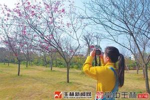 广西五彩田园第三届樱花节开幕 时间持续至3月31日
