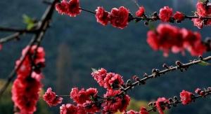 暖阳送惊喜 桂林桃花竞相开放