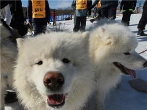俄罗斯滨海边疆区举行狗拉雪橇比赛