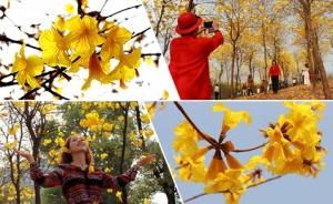 高清:别错过它的花期 黄花风铃木在邕盛开