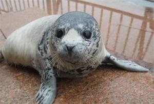 山东烟台:新生斑海豹与游客见面