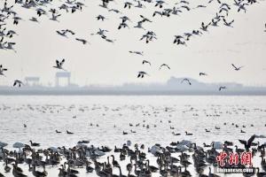 天津湿地迎候鸟迁徙高峰 上万候鸟云集(图)