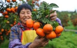 重庆长寿区:晚熟柑橘喜丰收