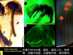 科学家发现迄今最古老的完整蘑菇化石(组图)