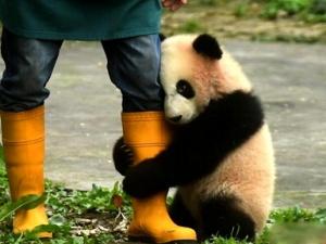 重庆动物园三只大熊猫幼仔正式命名与游客见面